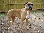 Boxer female brown.jpg