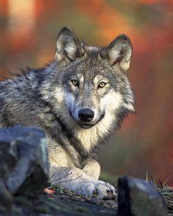 Loup d'Amérique du Nord, aux aguets