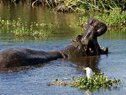 Un hippopotame
