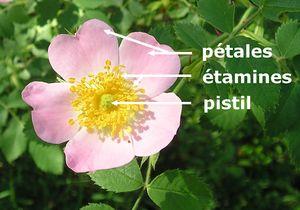 Pistil vikidia l encyclop die des 8 13 ans - Quand couper les fleurs fanees des hortensias ...
