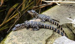 Alligator mississippiensis 2 babies.jpg