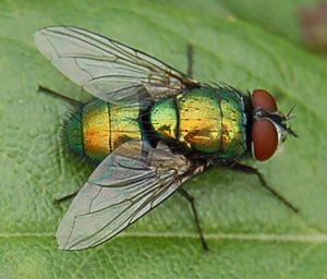 Insecte vikidia l encyclop die des 8 13 ans - Invasion de mouches vertes ...