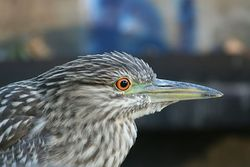 Young night heron.jpg