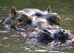 Tête d'hippopotame dans l'eau.jpg