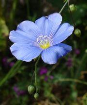 Fleur lin.jpg